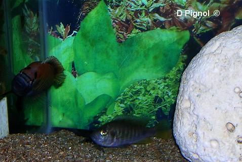 http://aquariophilie.cowblog.fr/images/Divers/34s2lgj.jpg