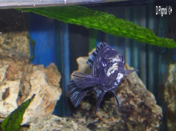 http://aquariophilie.cowblog.fr/images/Haplochromisparopius-1/1i20qa.jpg