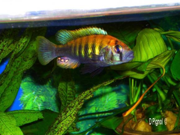http://aquariophilie.cowblog.fr/images/Victoria/2evzszm.jpg